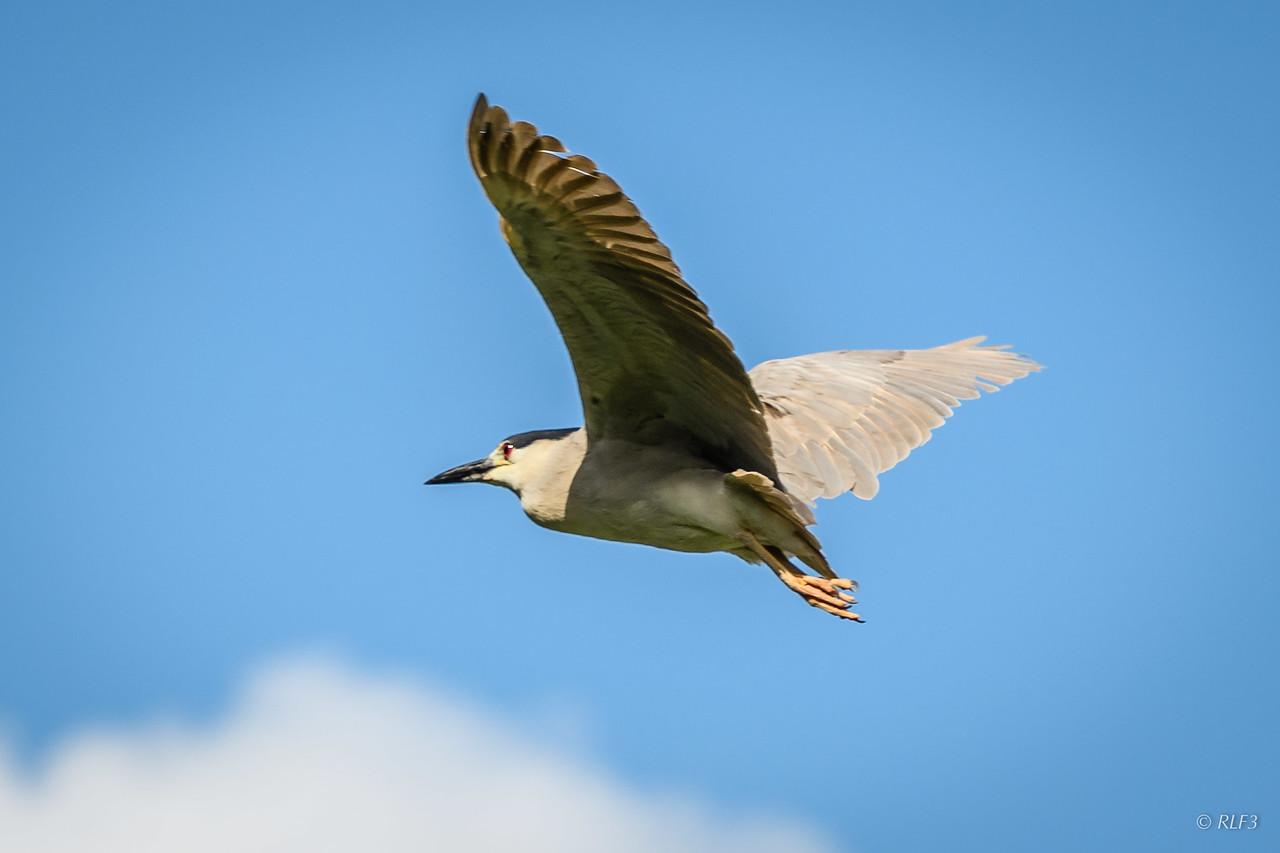 An  adult Black-Crowned Night Heron in flight.
