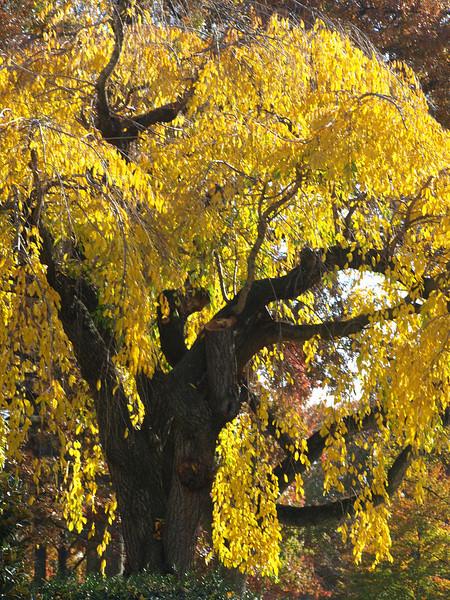City tree, Washington, DC. Lincoln Memorial