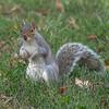 Curious squirrel, Washington Circle, Washington, DC.