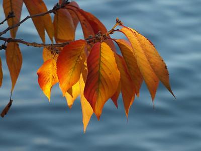 Cherry tree leaves, Tidal Basin, Washington, DC. Lincoln Memorial