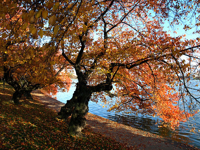 Cherry trees in fall colors, Tidal Basin, Washington, DC. Lincoln Memorial