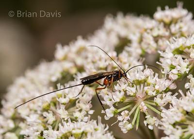 Ichneumon Wasp 10