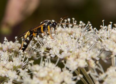 Ichneumon Wasp 15