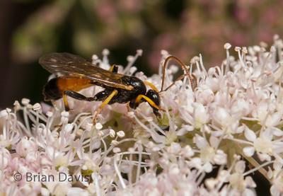 Ichneumon Wasp 4