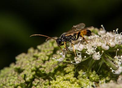 Ichneumon Wasp 5