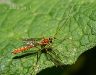 Ichneumon Wasp 11,