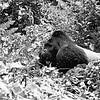 The lowland gorilla (Gorilla gorilla gorilla), endangered.
