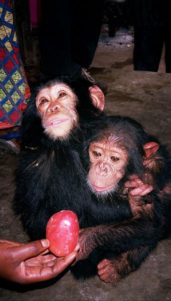 Chimpanzees (Pan troglodytes), endangered.