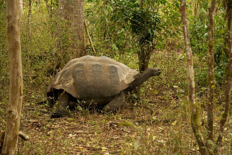 Giant Santa Cruz Tortoise (Chelonoidis porteri), endangered.