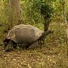 Giant Santa Cruz Tortoise (Chelonoidis porteri), endangered. Galápagos.