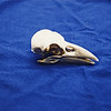 Skull of the Hawaiian Crow (Alalá), extinct in the wild.