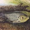 """""""Striper"""" (oil on board) by Crista Bromley"""