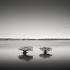 Two Mangroves