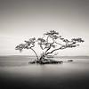 Solitary Mangrove