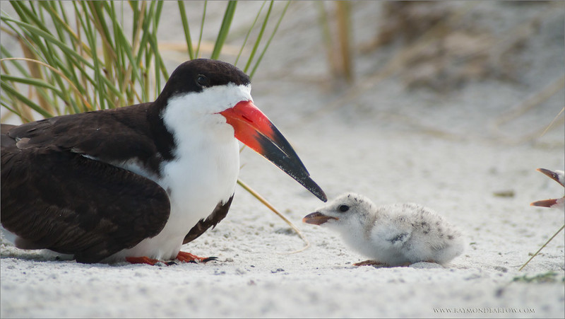 IMG_9210 Black Skimmer and Chick 1200 web