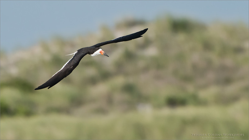 Black Skimmer in Flight<br /> Raymond Barlow Photo Tours to USA - Wildlife and Nature<br /> <br /> ray@raymondbarlow.com<br /> Nikon D810 ,Nikkor 200-400mm f/4G ED-IF AF-S VR<br /> 1/4000s f/6.3 at 400.0mm iso1250