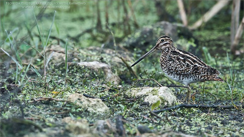 Wilson snipe in Superb Environment<br /> Raymond Barlow Photo Tours to USA - Wildlife and Nature<br /> <br /> ray@raymondbarlow.com<br /> Nikon D810 ,Nikkor 600 mm f/4 ED<br /> 1/60s f/7.1 at 600.0mm iso1600