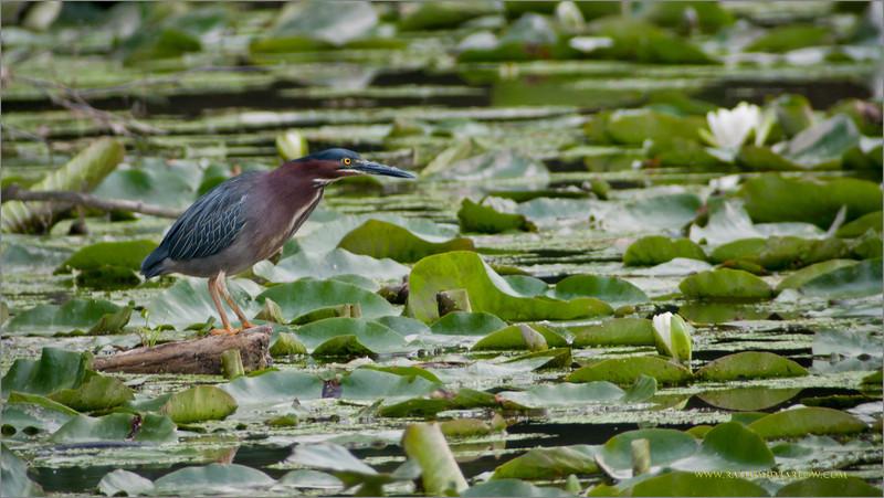DSC_9276 Green Heron swar 1600 share