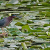 DSC_9276 Green Heron swar 1600 share