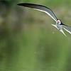 DSC_8944 Black Skimmer in Flight 1200 web