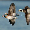 Long-tailed Ducks<br /> <br /> A fun day with some sweet sunlight at our backs.  Maria and I had such a good time with these beauties.   Hoping for another chance soon!<br /> <br /> At about 45 mph, the challenge was AF speed, and the ability to keep these birds in the frame.  I will say the A9 was brilliant.<br /> <br /> Thanks for looking
