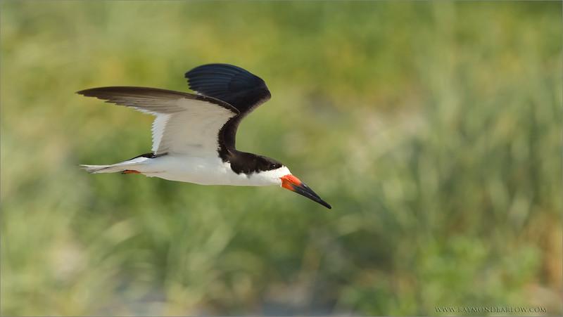 Black Skimmer in Flight<br /> RJB USA Photo Tours<br /> <br /> ray@raymondbarlow.com<br /> 1/2000s f/8.0 at 600.0mm iso800