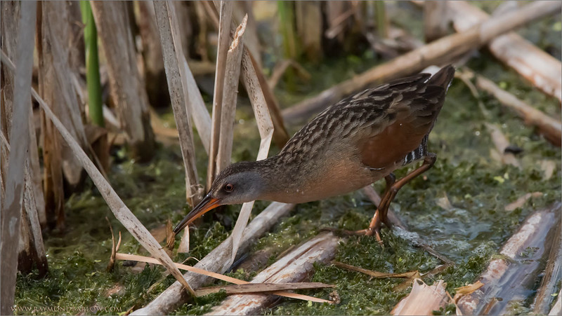 Virginia Rail with a snack!<br /> Raymond's Ontario Nature Photography Tours<br /> <br /> ray@raymondbarlow.com<br /> Nikon D810 ,Nikkor 200-400mm f/4G ED-IF AF-S VR<br /> 1/6400s f/7.1 at 400.0mm iso2500