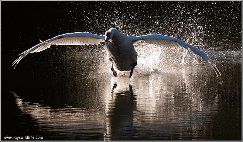 Mute Swan Attacking 2