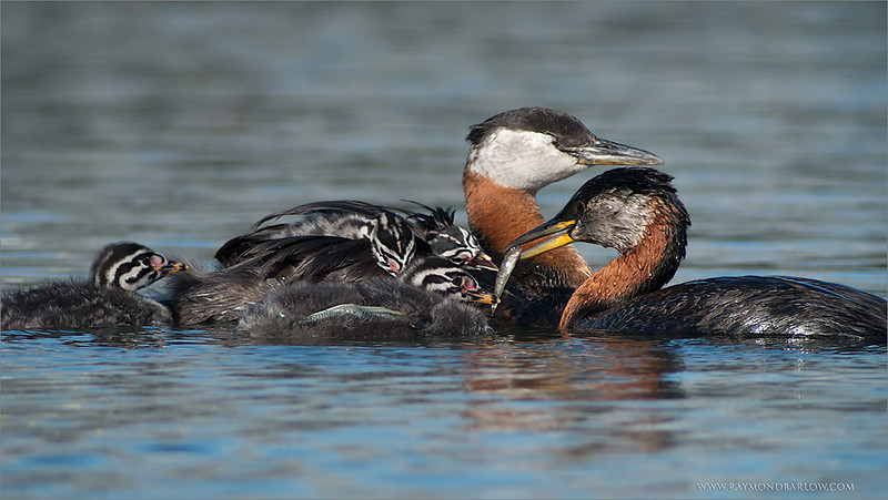 IMG_7892 Red-necked Grebe Family 1200 web