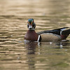 Wood duck<br /> Photo workshops