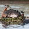 DSC_1616 Red-necked Grebes 1600 share full