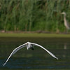 incoming Great White Egret with a blue heron in the background.
