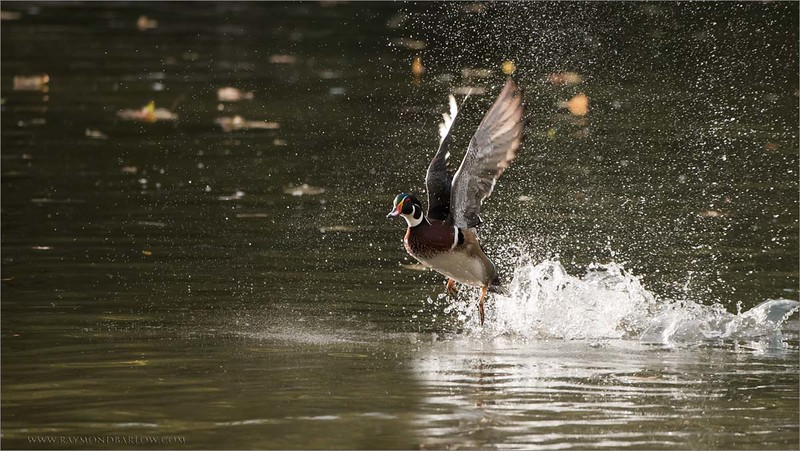 Wood Duck Lift Off - Ontario, Canada<br /> Raymond's Ontario Nature Photography Tours<br /> <br /> ray@raymondbarlow.com<br /> Nikon D810 ,Nikkor 200-400mm f/4G ED-IF AF-S VR<br /> 1/2000s f/5.6 at 400.0mm iso2500