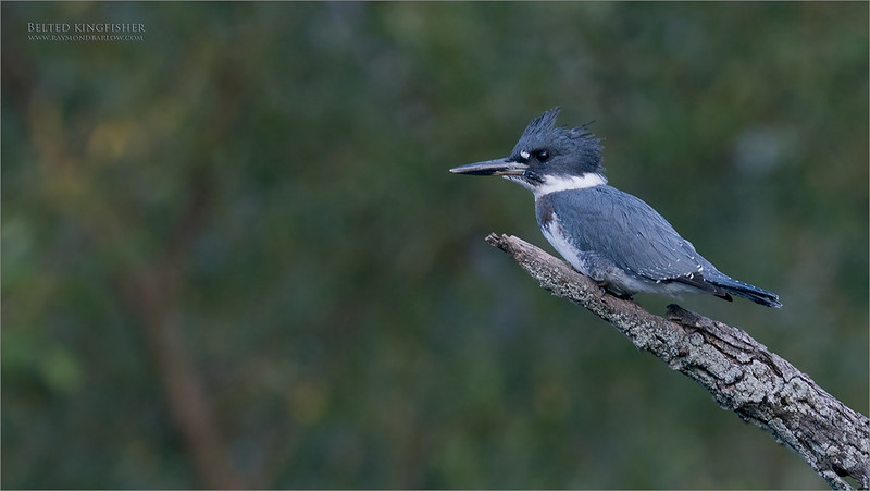 Belted Kingfisher Series - 2 of 4<br /> <br /> Equipment supported by Jobu Design Tripods and Gimbal heads<br /> Contact me for more info on discount pricing!<br /> <br /> We drove to a nice pond that has been  busy with a kingfisher family, and we had some luck!   I believe this is a first year bird, learning to hunt for itself.<br /> <br /> It seemed to be very comfortable with my lens on it for about 40 minutes.  After many shots, she then she flew over to have a close look at me, much to my surprise.<br /> <br /> I will share a few more shots from this encounter, coming this week.  for me, this is easily the most difficult bird to capture here in Ontario, Canada,   So I was happy to catch a few shots.<br /> <br /> Also, using the 1.4 tele-converter, and the apc-c sensor setting on the camera gave me some extra reach.  She was close to 60 yards away!<br /> <br /> Thanks for looking!<br /> <br /> raymondjbarlow@yahoo.ca