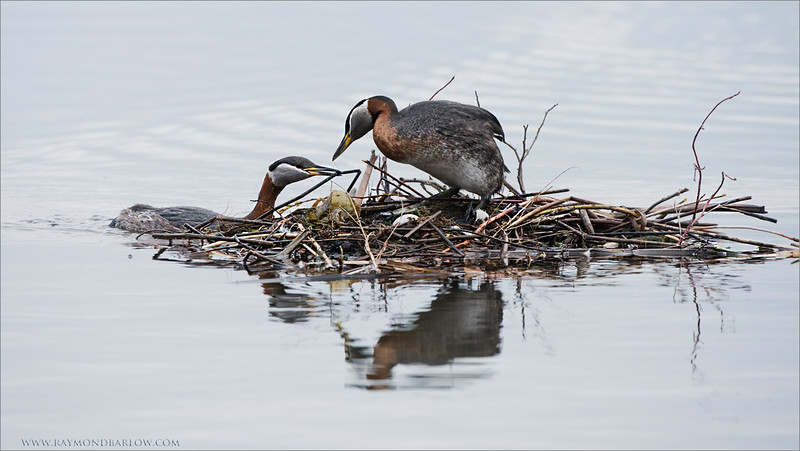 Red-necked Grebe Nest<br /> Raymond's Ontario Nature Photography Tours<br /> <br /> Superb Nature.<br /> <br /> ray@raymondbarlow.com<br /> Nikon D810 ,Nikkor 200-400mm f/4G ED-IF AF-S VR<br /> 1/640s f/5.6 at 350.0mm iso800