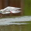 A9_00189 Caspian Tern with Lunch 1200 web