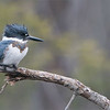 My shooting buddy Maria and I were at it again today, working hard to learn this beautiful birds habits.<br /> <br /> Belted kingfisher.<br /> <br /> This shot was taken after about 1.5 hours of learning!<br /> <br /> I did see her last summer, and it does look like she will be spending the winter here in Southern Ontario.  Quite amazing.<br /> <br /> For workshop info, please email me - raymondjbarlow@yahoo.ca or ray@raymondbarlow.com<br /> <br /> Best wishes!