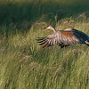 DSC_9796 Sandhill Crane in Flight 1600 share