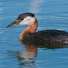 DSC_1223 Red-necked Grebe 1600 share