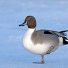 "My feet are getting cold!<br /> <br /> Northern Pintail on ice!<br /> <br /> I have heard it before, cold feet and the need for new winter boots!<br /> <br /> This beauty does not have the luxury we have, so they warm one foot at a time.  I still find it amazing that so many ducks and water fowl survive our icy cold weeks here in Canada. There cannot be too much food around, but yet there are thousands waiting for the ice to thaw.<br /> <br /> The geese and the swans also make a meager living, so thankfully some kind-hearted people at the waterfront in Burlington feed them with kennel corn designed for birds.   Most people do not know that feeding these birds with bread is a poor choice.  The theory is that once the bread is digested, the excretions become toxic.  Also, leftover bread going to decay in the water is very bad for the ecosystem.<br /> <br /> So with this shot, the bird was quite far out on the ice.  I decided to use the tele-converter, and the crop factor asp-c sensor setting on the A7r4.  This leaves me with a 1260 mm equivalent mm, and still from there at least a 50% crop in Photoshop.  It is nice to use this set up for distant still subjects, but I do recommend using the timer, for at least 5 seconds.<br /> <br /> The blue cast comes with low late afternoon light, so the whites slowly become ""less white!""<br /> <br /> Thanks for looking!"