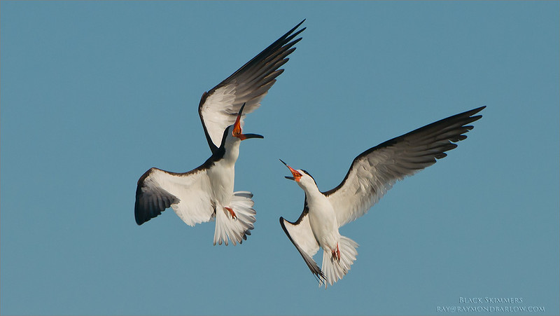Black skimmers in Battle<br /> Raymond Barlow Photo Tours to USA - Wildlife and Nature<br /> <br /> ray@raymondbarlow.com<br /> Nikon D800 ,Nikkor 200-400mm f/4G ED-IF AF-S VR<br /> 1/5000s f/5.6 at 400.0mm iso500
