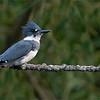"""Belted Kingfisher<br /> <br /> He knew I was working on him!<br /> <br /> Honestly, this guy posed for stills and videos for at least 20 minutes.  What a character,  and he is so proud!   He looks directly at me at least 10 times.  If the image looked ok, I would process one, but the side profile looks better, in my opinion.<br /> <br /> I was switching from video to static images.  The sun disappeared behind the trees and gusty strong winds made this whole night very challenging.  I was doing my best to keep the ISO down.<br /> <br /> I doubt I will use the videos, but a couple stills look ok.  So, using 600 mm, plus the teleconvertor, plus the crop sensor, which left me with 1260 mm at f9. Then a heavy crop too!<br /> <br /> <br /> So then we have the wind!  I settled for 1/60th of a second, and did a few bursts.<br /> <br /> Here is an unlisted link here to my YouTube account, showing the video I have processed so far.  You can hear the gusts!<br /> <br /> <a href=""""https://youtu.be/-VNkEDjkEsg"""">https://youtu.be/-VNkEDjkEsg</a><br /> <br /> So, we try again tomorrow, and hope for another chance.<br /> <br /> Thanks for stopping by, appreciated."""