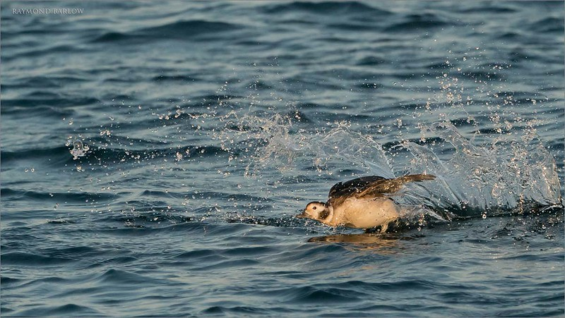 """Female Long-tailed Duck crash Landing<br /> Burlington Ontario<br /> <br /> Thanks to Timothy Story and Don Leslie for a few laughs out there shooting in the wind! Maria kept me company too!<br /> <br />  <a href=""""http://www.raymondbarlow.com"""">http://www.raymondbarlow.com</a><br /> Sony Alpha A9,Sony FE 100-400mm F4.5–5.6 GM OSS<br /> 1/5000s f/6.3 at 400.0mm iso3200"""