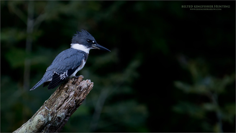 Belted Kingfisher  <br /> <br /> My second shoot with this species, at a different location.<br /> <br /> These new images bring me back to when I first started with bird photography, in a serious  capacity.  After purchasing my first telephoto lens for the Nikon D70 and capturing my favourite bird at the time - the Red-tailed hawk, my next challenge was the local Kingfisher. (2003)<br /> <br /> So this week, I revisited the same location where I started, at the same time of year., and yes, that still live here!  After a couple hours, their morning hunt seemed to be completed, and they settled down.  <br /> <br /> I was very lucky to catch a few shots in such low light., iso 320 @ 1/50 sec.  Great fun, and lucky for me, not too many mosquitoes! <br /> <br /> Niagara, Ontario.<br /> <br /> Thanks for looking.