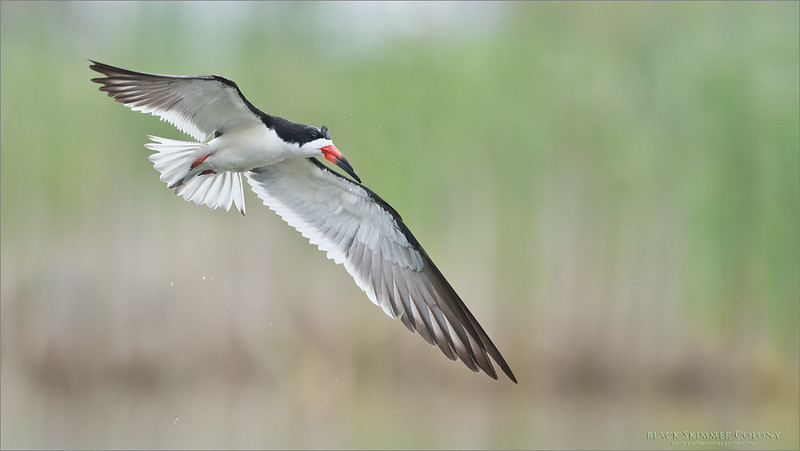 Black Skimmer in Flight<br /> Raymond Barlow Photo Tours to USA - Wildlife and Nature<br /> <br /> ray@raymondbarlow.com<br /> Nikon D810 ,Nikkor 600 mm f/4 ED<br /> 1/3200s f/5.0 at 600.0mm iso1600