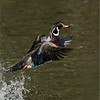 DSC_4192 Wood Duck 700 x 900 1200 web