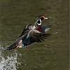 DSC_4192 Wood Duck 700 x 900 1200 web