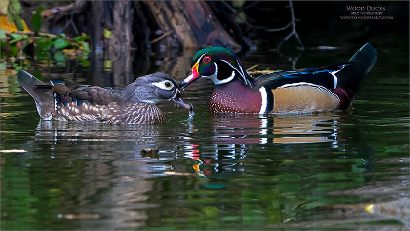 Three hours photographing these beautiful ducks!  Special thanks to my friend and guest Harry Hersh for joining me!<br /> <br /> To get just the right pose.  <br /> <br /> Wood Ducks<br /> <br /> A wet kiss?  Maybe!  We had beautiful light, and calm waters for the morning with these wonderful and colourful birds.  They wandered around the pond feeding, as a long flight south is on their agenda.  Time to build up energy for the trip.<br /> <br /> Using the tripod and gimbal head, I lowered the ISO to 640 and set the camera to APS-C sensor.  (1.5 crop at 600 mm = 900 mm effective focal length.)  And a heavy crop to frame these ducks with a nice composition.<br /> <br /> With a shutter speed at only 1/200, and 900 mm, I was lucky to catch some nice images with decent sharpness.  The superb panning ability of the Gitzo fluid gimbal head really makes a big difference.<br /> <br /> Finally, — f 7.1 for some sharpness and depth of field, leaving me with a decent shot for at least 45 yards (41.15 m).<br /> <br /> I may have been wise to clone out the leave floating in front of the female, funny how we notice these things after we are finished the edit. <br /> I will take it out on the 1600 PX image, so you can compare if you wish.<br /> <br /> Many thanks for your visit, so much appreciated!