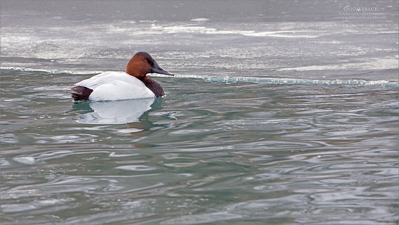Canvasback<br /> <br /> Another image of this male Canvasback duck. <br /> <br /> I enjoyed photographing them against the icy backdrop with the soft light.  Such a great looking bird!<br /> <br /> Image taken at 600 mm, just a bit of crop.  I am a big fan of environmental shots that help tell the story of nature.<br /> <br /> Thanks for looking!
