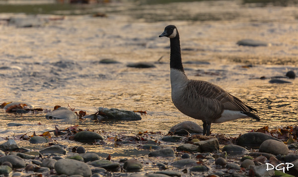 Canadian Goose Sunrise